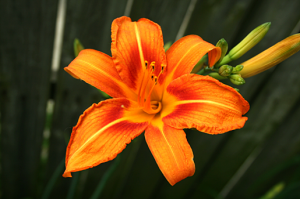 The orange day lily is Witless Bay's Official Flower!